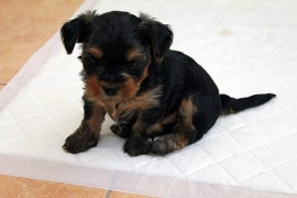 yorkie potty training tips