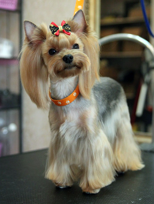 brush a yorkshire terrier