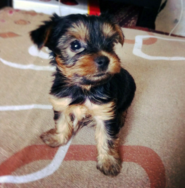 cute pictures of yorkie puppies