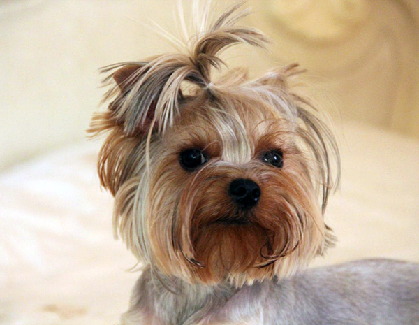 how to stop yorkies from barking