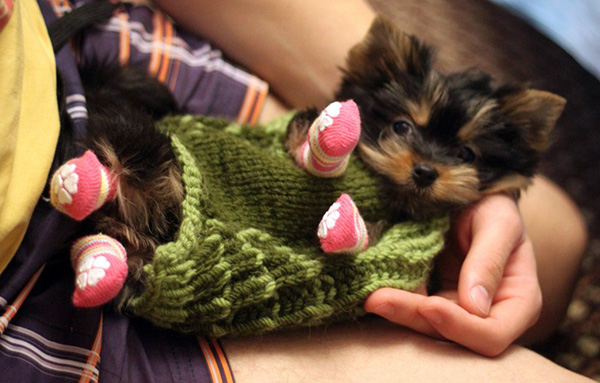 Create a Playful Environment and Click Some Fascinating Pictures af Yorkie Puppies