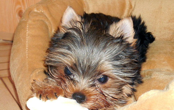 pictures of little yorkie puppies
