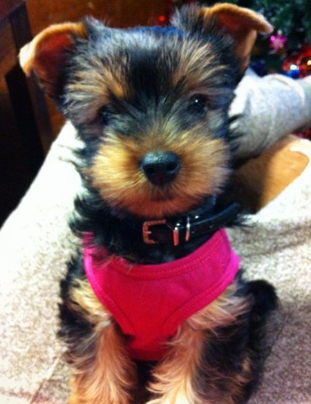 pictures of teacup yorkie puppies
