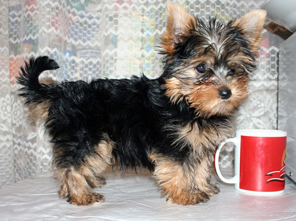 pictures of yorkies puppies