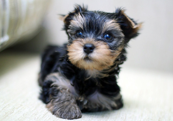 pictures of yorkshire terrier puppies