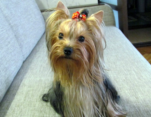 Yorkshire Terrier Coat Colors Might Vary from a Puppy to an Adult Yorkie