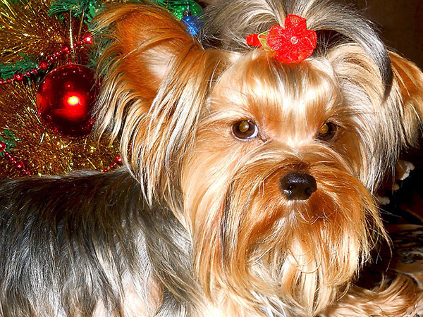 Understand The Reasons Related With Yorkie Barking And Stop It
