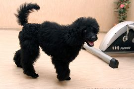 hypoallergenic dog breed poodle